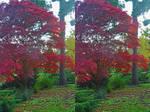 Japanese Maple In Heathfield Woodland Garden