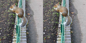 Stereoscopic Pair With Surgically Altered Squirrel