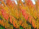 Autumnal Sumac Fire