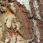 Mature Silver Birch Bark Sample Painting