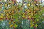 Fruiting Japanese Maple Stereoscopic Watercolour