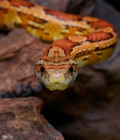 2.Corn snake by Bullter
