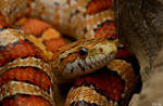 3.Corn snake