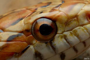 5.Corn snake by Bullter