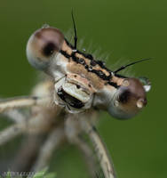 160.Dragonfly_close-up by Bullter