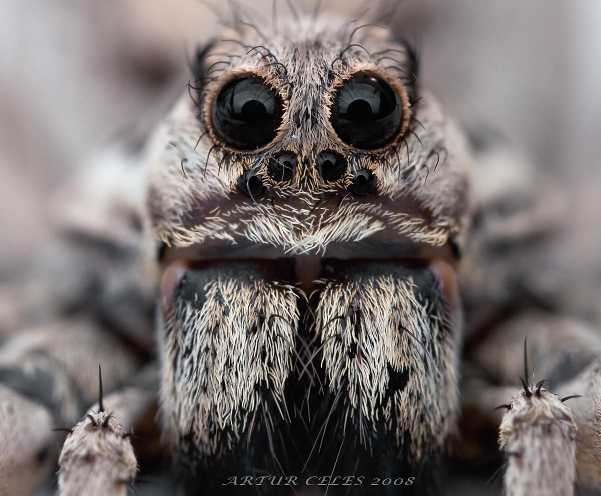171.Lycosa tarantula by Bullter