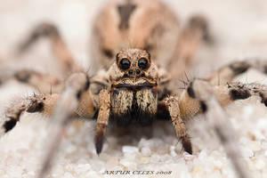 182.Wolf spider by Bullter