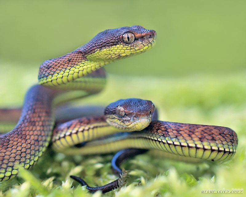 25.Two pit viper by Bullter