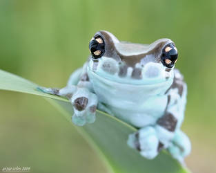 249.Frog with big eyes by Bullter