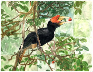 Hornbill and figs