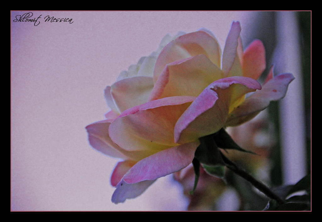CVECE - Page 7 The_time_of_the_rose_by_yasminlavan-d4hgq0s