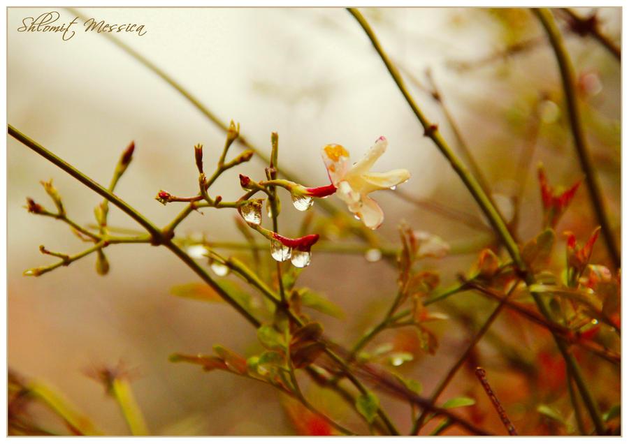 Last jasmin flower by ShlomitMessica