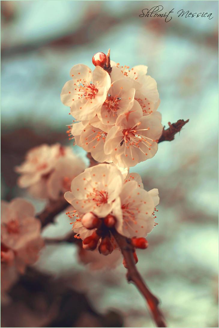 Plum flowers by ShlomitMessica