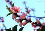 Peaches flowers