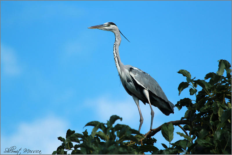 Grey Heron by ShlomitMessica