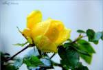 Le temps des roses 2