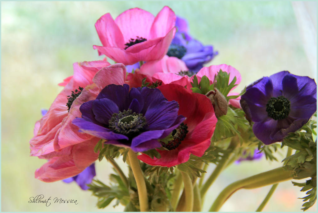 Anemones for Valerie by ShlomitMessica