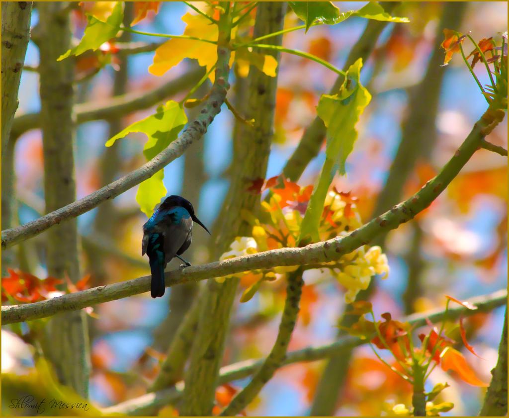 Hummingbird's song by ShlomitMessica