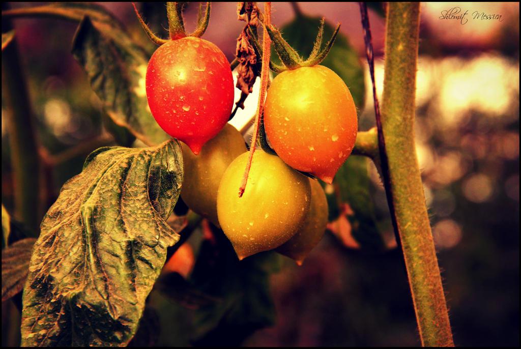 Cherry tomatoes by ShlomitMessica