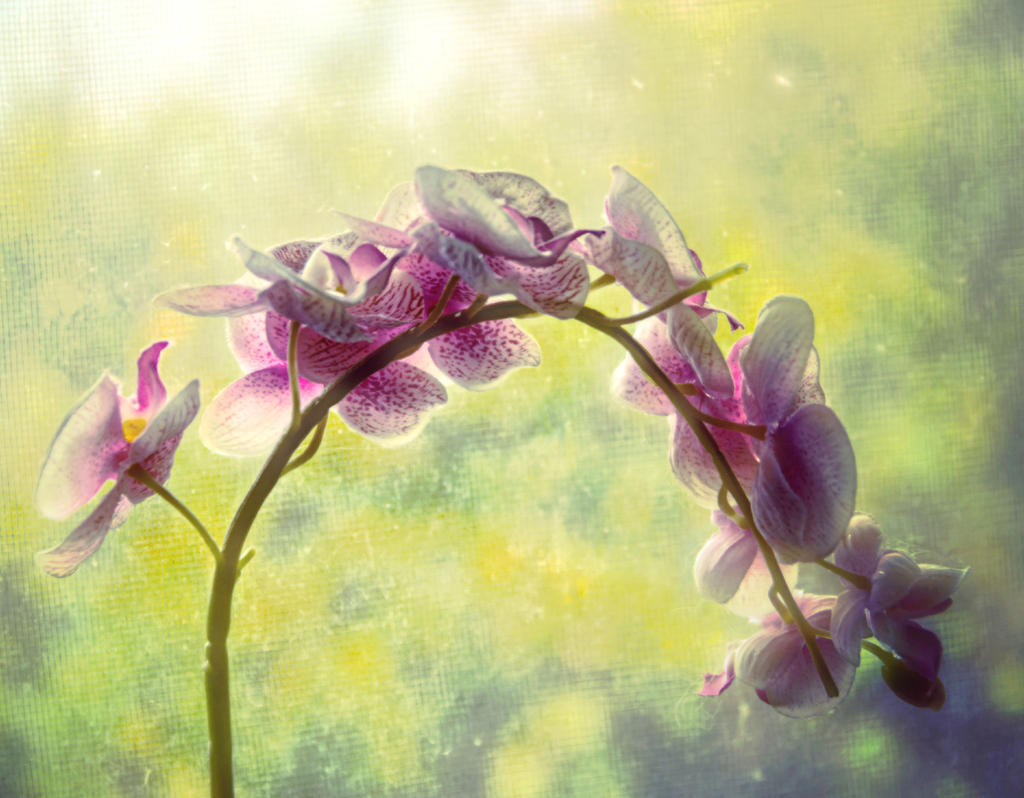 Soft orchids by ShlomitMessica
