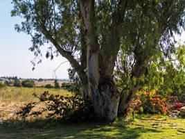 Eucalyptus by ShlomitMessica