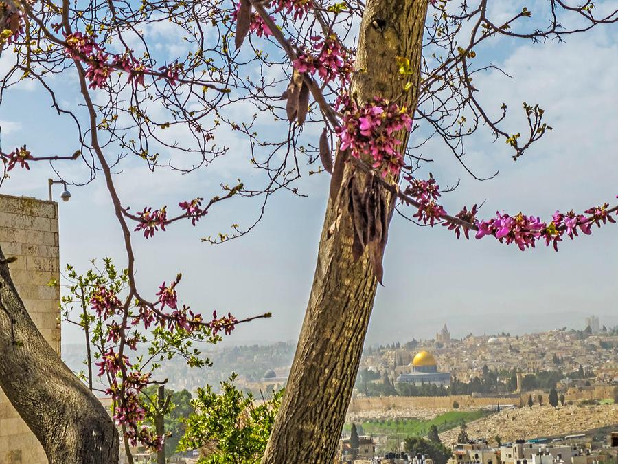 Judas tree in Jerusalem