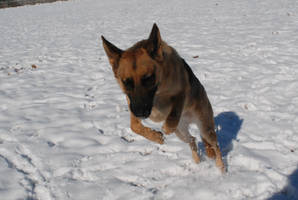 Snow Dog 34 by lumibear