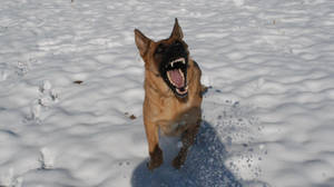 Snow Dog 39 by lumibear