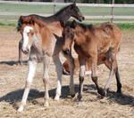 Nurse Mare Foals 4