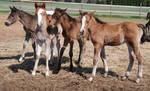 Nurse Mare Foals 5