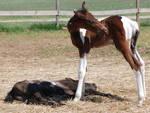 Nurse Mare Foals 45