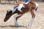 Nurse Mare Foals 57