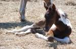 Nurse Mare Foals 72