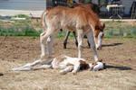 Nurse Mare Foals 147