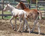 Nurse Mare Foals 155