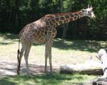 Giraffes 01