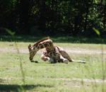 Giraffes 07
