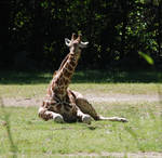 Giraffes 09