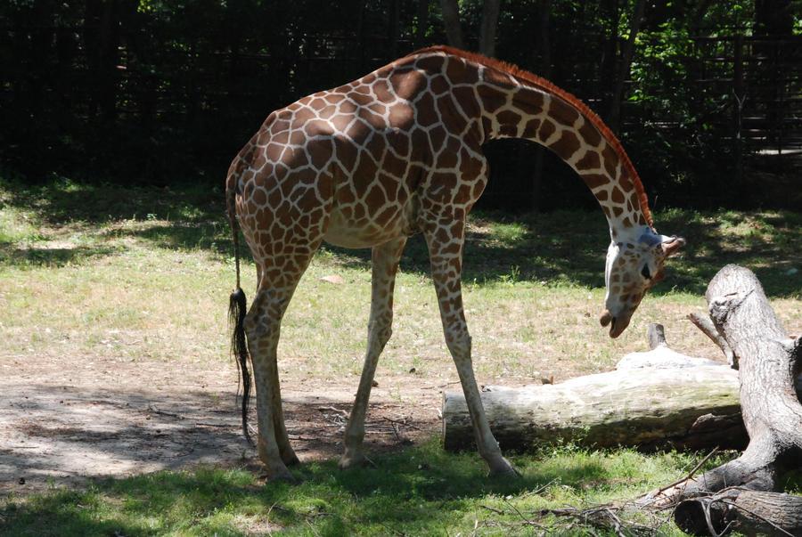 Giraffes 014