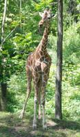 Giraffes 019