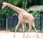 Giraffa camelopardalis : Giraffe 06