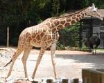 Giraffa camelopardalis : Giraffe 07