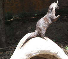 Aonyx cinerea : Asian small-clawed otter 06 by lumibear
