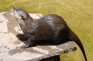 Aonyx cinerea : Asian small-clawed otter 045 by lumibear