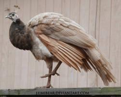 Pavo cristatus - Indian peafowl 26 by lumibear