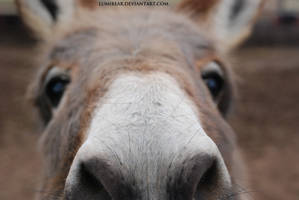 Equus africanus asinus - Donkey 7 by lumibear