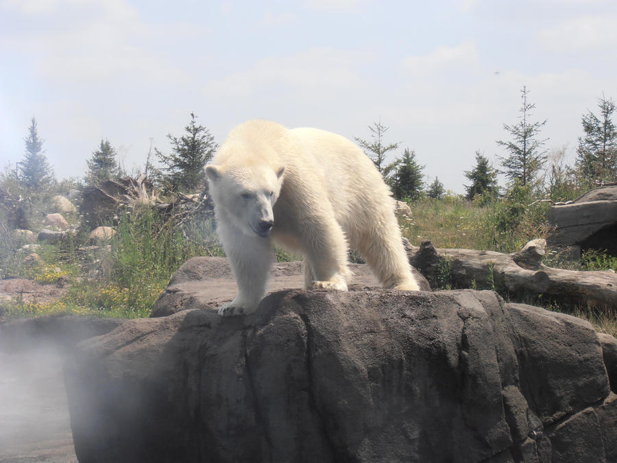 Polar Bear 3 by mayestock