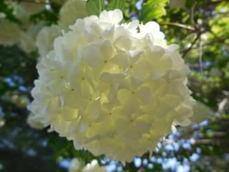 Snowball Bush flower by Dogman15