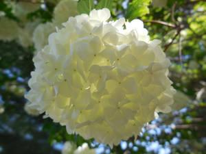 Snowball Bush flower