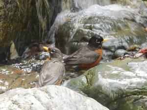 Robins Bathing
